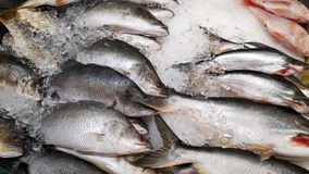 Fresh sea bass fish. On ice sale in market royalty free stock photo