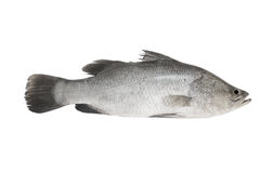 Fresh sea bass fish isolated Stock Images