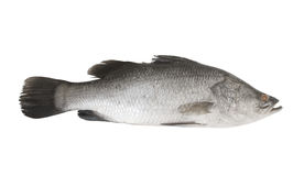 Fresh sea bass fish isolated Royalty Free Stock Images