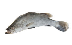 Fresh sea bass fish isolated Royalty Free Stock Photography