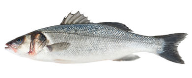 Fresh Sea Bass fish isolated Royalty Free Stock Photo