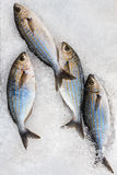 Fresh Sea Bass on Ice Royalty Free Stock Photo