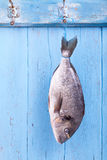 Fresh sea bream is hanging headlong on a hook. On a blue wooden board, fresh fished, catch the fish Royalty Free Stock Images