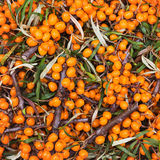 Fresh Sea buckthorn berryes. Harvest. Toned Royalty Free Stock Photos