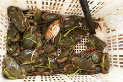 Fresh sea crabs. In white basket Royalty Free Stock Photography