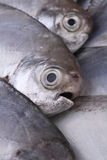 Fresh sea fish Stock Images