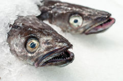 Fresh sea fish on ice,close-up Royalty Free Stock Images