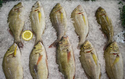 Fresh sea fish on ice with lemon cut. Red drum or redfish catch for dinner. Red fish in marketplace. Selling fish in grocery store or fish shop. Middle size Stock Images