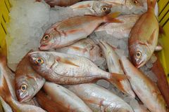 Fresh sea fish in the market. Fresh saltwater fish on market counter in Acre stock images