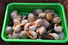Fresh sea snails in a fish market Stock Image