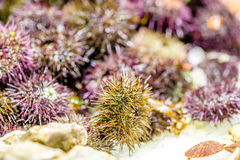 Fresh sea urchins on market display. Fresh sea urchins on cooled market display royalty free stock image