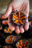 Fresh sea urchins royalty free stock image