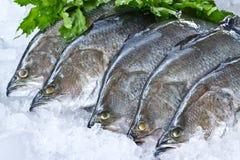 Fresh Seabass Stock Images