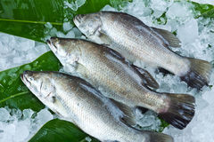 Fresh Seabass chilled on ice Stock Images