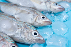 Fresh Seabasses with Ice on blue Stock Photo