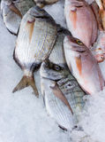 Fresh seabream catch on cold ice 2 Royalty Free Stock Photo