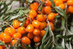 Fresh seabuckthorn on the table. Fresh seabuckthorn on the vintage wooden table stock photo