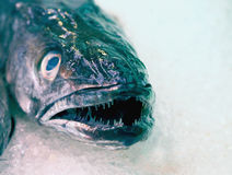 Fresh seafood - close view of hake's head Royalty Free Stock Photo
