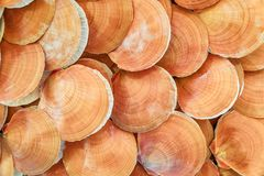 Fresh seafood, Scallop in morning market.  Stock Photography