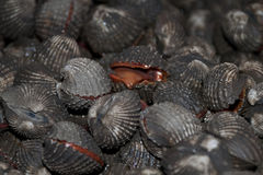 Fresh seafood shell. Closeup of shells with some half opened Royalty Free Stock Photography