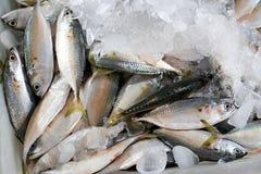 Fresh seafood short-bodied mackerel Royalty Free Stock Photos