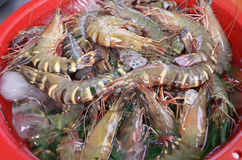 Fresh seafood shrimps and prawns on ice in thailand market Royalty Free Stock Photos