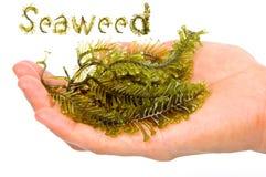 Fresh seaweed Stock Images