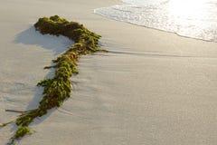 Fresh seaweed Stock Image