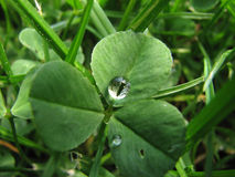 Fresh shamrock with rain drop. Fresh green shamrock with rain drop Royalty Free Stock Image