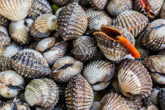 Fresh Shellfish Blood Cockles. Royalty Free Stock Images