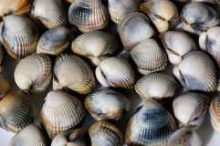 Fresh shells, cerastoderma edule. Picture of fresh shells, from atlantic ocean. Usually named common cockle royalty free stock images
