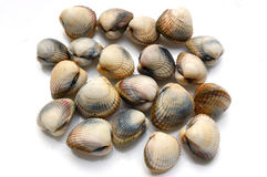 Fresh shells, cerastoderma edule. Picture of fresh shells on white background, from atlantic ocean. Usually named common cockle royalty free stock photos