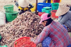 Fresh shells scallops in the market vietnam. Fresh shells scallops in the seafood market vietnam Royalty Free Stock Photography
