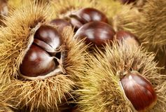 Fresh shiny chestnuts in husks Stock Images