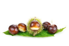 Fresh shiny chestnuts on a leaf stock photography