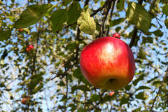 Fresh Shiny Red Apple Stock Images