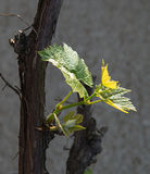 Fresh shoots of vine Stock Photos