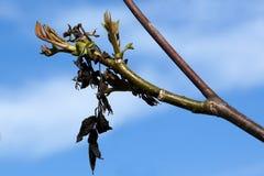 Fresh shoots of the walnut Stock Photos