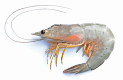 Fresh shrimp. Stock Image