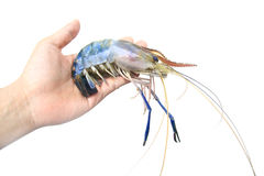 Fresh shrimp in hand Royalty Free Stock Images