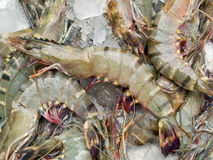 Fresh shrimp on ice Royalty Free Stock Image