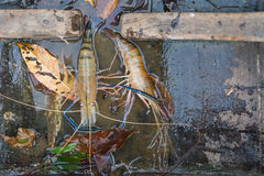 Fresh shrimp Royalty Free Stock Photography
