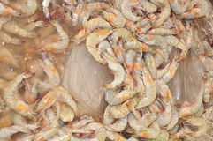 Fresh shrimp at the market Stock Images