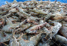 The fresh shrimps in fresh market. A lot of fresh shrimps in fresh market royalty free stock photography