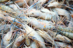 Fresh shrimps in seafood market. Royalty Free Stock Photography