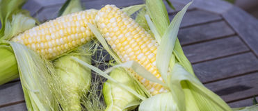 Fresh shucked corn. Four pieces of peaches and cream corn getting peeled Royalty Free Stock Photography
