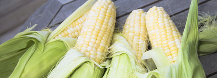 Fresh shucked corn. Four pieces of peaches and cream corn getting peeled Stock Photo