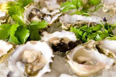Fresh Shucked Oysters Royalty Free Stock Image