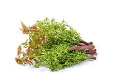 Fresh Siamese neem tree, Nim, Margosa, Quinine stock images
