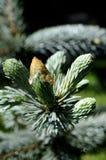 Fresh silver fir Stock Image